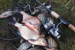 Twee grote zoetwater gemeenschappelijke brasemvissen en hengel met spoel o stock afbeeldingen