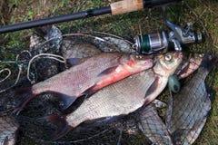 Twee grote zoetwater gemeenschappelijke brasemvissen en hengel met spoel o stock foto's