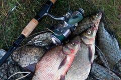 Twee grote zoetwater gemeenschappelijke brasemvissen en hengel met spoel o stock foto