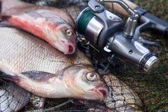 Twee grote zoetwater gemeenschappelijke brasemvissen en hengel met spoel op schepnet stock fotografie
