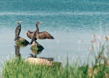 Twee grote zwarte vogelsaalscholvers zitten, uitspreidend vleugels, op rotsen op het water op een zonnige de zomerdag De Oekraïne stock afbeelding