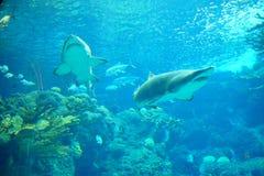 Twee haaien zwemmen royalty-vrije stock foto