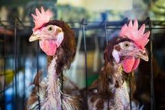 Twee hanen in birdcage Royalty-vrije Stock Fotografie