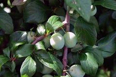 Twee hangende Pruimen (Prunus) Royalty-vrije Stock Afbeeldingen