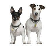 Twee Hefboom Russell Terriers stock foto's