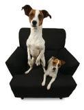 Twee Hefboom Russell Terriers stock fotografie
