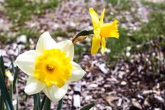 Twee heldere, gelukkige, vrolijke, gele gouden en witte unieke de gele narcisbollen die van de lentepasen in buitentuin in de len royalty-vrije stock foto's