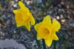 Twee heldere, gelukkige, vrolijke, gele gouden gele narcissenbol die van de lentepasen in buitentuin in de lente bloeien royalty-vrije stock foto's