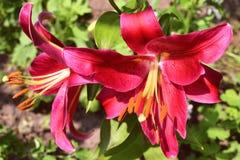 twee heldere lelies met karmozijnrode bloemblaadjes Stock Foto