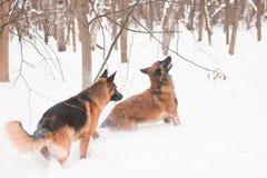 Twee herders Stock Fotografie