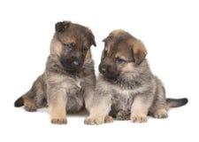 Twee herdershond` s puppy die over witte achtergrond worden geïsoleerd Royalty-vrije Stock Afbeeldingen