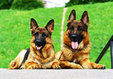 Twee herdershonden Royalty-vrije Stock Foto's