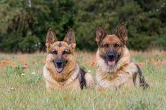 Twee herdershonden royalty-vrije stock afbeeldingen