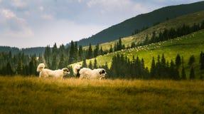 Twee herdershonden in een Karpatisch landschap Stock Afbeeldingen