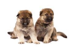 Twee herdershonden puppys stock foto's