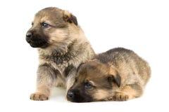 Twee herdershonden puppys stock afbeeldingen