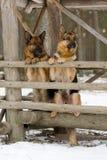 Twee Herdershonden van Duitsland Stock Afbeelding