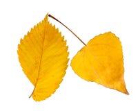 Twee herfstbladeren Royalty-vrije Stock Fotografie