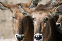 Twee herten (kuiten). royalty-vrije stock afbeelding