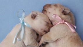 Twee het aanbiddelijke puppy slapen geknuffeld tot elkaar stock video