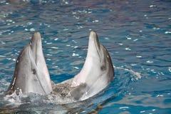 Twee het dansen dolfijnen Stock Foto