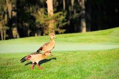 Twee het Egyptische ganzen lopen Stock Afbeeldingen