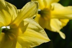 Twee het gele gele narcissen helder bloeien Stock Foto's