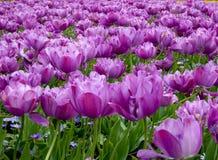 Twee het gestemde purpere tolips bloeien stock foto's