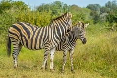 Twee het Gestreepte houden van van leuke Burchell in spelreserve het weiden op groene savanne onder blauwe hemel op een hete de z stock foto's