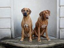 Twee het grote grappige gelukkige honden zitten die op marmer camera bekijken met overgeheld hoofd royalty-vrije stock fotografie
