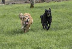 Twee het grote honden spelen Stock Foto