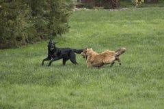 Twee het grote honden spelen Royalty-vrije Stock Fotografie
