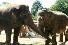 Twee het houden van Aziatische olifanten Royalty-vrije Stock Afbeeldingen