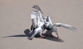 Twee het houden van duiven Stock Foto's
