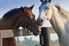 Twee het houden van paarden Royalty-vrije Stock Foto's