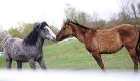 Twee het houden van paarden royalty-vrije stock afbeelding