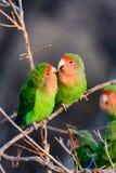 Twee het houden van romantische rooskleurige onder ogen gezien dwergpapegaaien Royalty-vrije Stock Foto