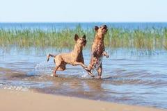 Twee het Ierse Terriers spelen in het water Royalty-vrije Stock Afbeeldingen
