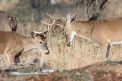 Twee het jonge het spel van de whitetailbok sparring Stock Foto