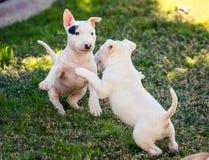 Twee het kleine bull terrier-puppy spelen Royalty-vrije Stock Foto's