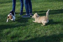 Twee het kleine honden openlucht spelen Stock Fotografie