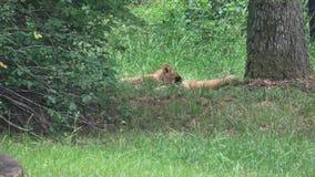 Twee het kleine leeuwwelpen spelen stock footage