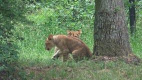 Twee het kleine leeuwwelpen spelen stock videobeelden