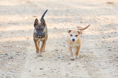 Twee het Kleine portret van de puppyhond Royalty-vrije Stock Afbeelding