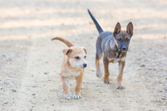 Twee het Kleine portret van de puppyhond Stock Foto's