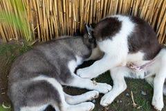 Twee het kleine schor honden spelen stock foto