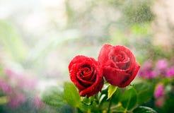 Twee het kussen rozen Stock Foto's