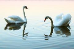 Twee het kussen zwanen op blauw water De vogels vertegenwoordigen hart als huwelijk en liefdesymbool royalty-vrije stock afbeelding