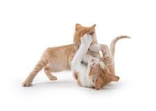 Twee het leuke katjes spelen Stock Afbeeldingen