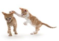 Twee het leuke katjes spelen Stock Foto